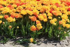 Yellow And Orange Parrot Tulips On A Field Stock Photos