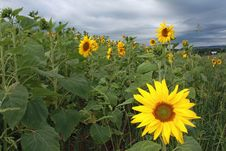 Sunflowers Before The Storm Royalty Free Stock Image