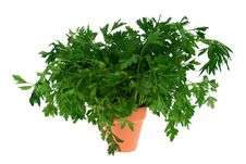 Parsley Branches Stock Photography