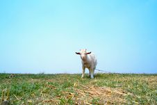 Free Goat Royalty Free Stock Photo - 13992145