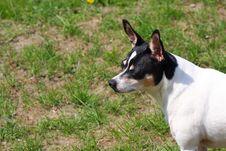 Free Rat Terrier Dog Royalty Free Stock Image - 13992206