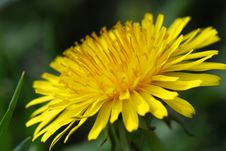 Free Dandelion Close Up Royalty Free Stock Images - 13992239