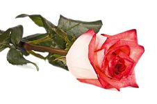 Free Bud, Flower, Bright Rose Stock Image - 13993271