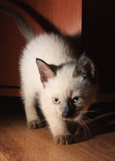 Free Siamese Kitten Stock Photo - 13994260