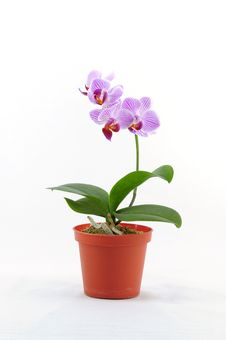 Free Single Purple Orchid With White Pattern Stock Photos - 13994993