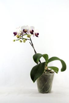 Free White Orchid With Purple Pattern On Pot Stock Image - 13995111