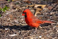 Free Cardinal Male Stock Photography - 13995232