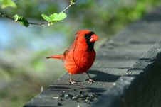 Free Cardinal Male Stock Photos - 13995343