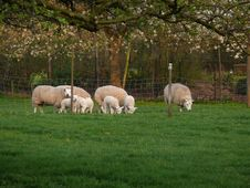 Free Little Lamb Royalty Free Stock Image - 13995396