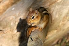 Free Chipmunk Stock Photos - 13995433