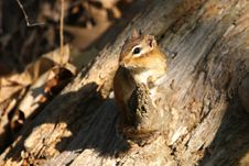 Free Chipmunk Royalty Free Stock Images - 13995479