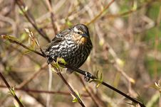 Free Red-winged Blackbird Female Royalty Free Stock Photo - 13995595