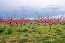 Free Peach Flowers Stock Image - 13996531