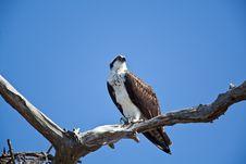 Free Osprey Stock Images - 13998434