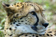 Free Cheetah Royalty Free Stock Image - 13998936