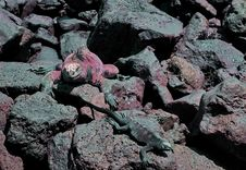 Free Galapagos Marine Iguana Royalty Free Stock Photography - 13999117