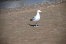 Free Seagull At The Beach Stock Image - 13999191