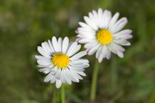 Free Chamomile In The Field ,close Up Royalty Free Stock Photography - 13999587