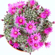 Free Blooming Cactus Plant Stock Photography - 13999682