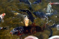 Coy Fish_2 Royalty Free Stock Photo