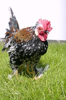 Free Rooster Stock Image - 141071