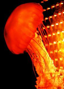 Free Jelly Fish Stock Photography - 141272