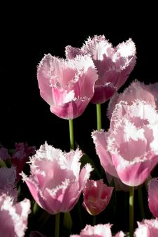Free Tulips Royalty Free Stock Image - 141326