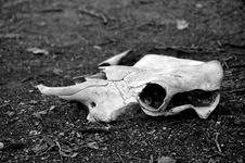 Free Bleached Animal Skull Royalty Free Stock Photos - 142158