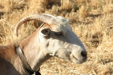 Free Crete / Goat Royalty Free Stock Photography - 142437