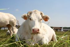Free Cow Stock Image - 142631