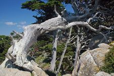 Free Pt Lobos Cypress Royalty Free Stock Photography - 142787