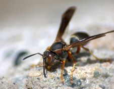 Free Wasp Royalty Free Stock Images - 142849