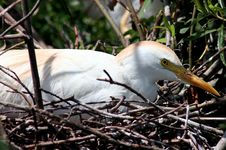 Free American Egret Royalty Free Stock Photo - 143515