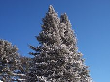 Free Snow Tipped Trees. Stock Photos - 144503