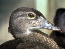 Free Portrait Of A Duck Stock Photography - 144682