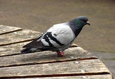 Free Pigeon Waiting Stock Photography - 146042