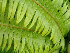 Free Green Fern Leaf With Water Droplets Stock Photo - 146960