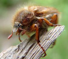 Free Maybug Royalty Free Stock Photo - 148175