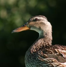 Free Duck Head And Shoulders Royalty Free Stock Image - 148546