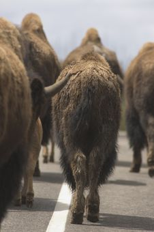 Free Bison Roadblock Stock Photography - 149242