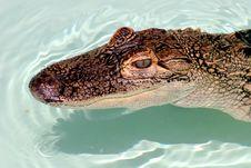 Free Alligator Stock Images - 149284