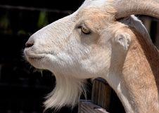 Free Goat Royalty Free Stock Image - 149286