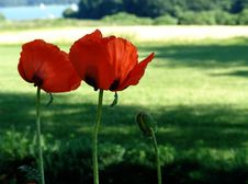 Free Giant Poppies Royalty Free Stock Image - 149926