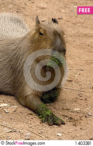 Free Giant Rat Stock Image - 1403381