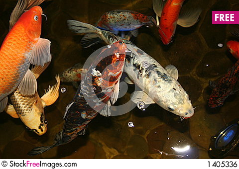 Exotic fish japan koi free stock photos images for Exotic koi fish