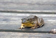 Free Green Frog (Rana Clamitans) Royalty Free Stock Photography - 1400067