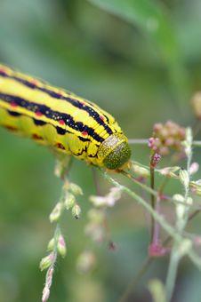Free Hanging Yellow Caterpillar Stock Photo - 1401370
