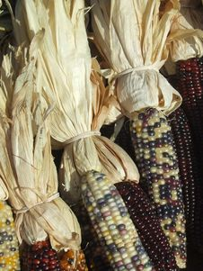Free Indian Corn Royalty Free Stock Photography - 1401577