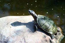 Free Turtle Sunbathing On Rock Royalty Free Stock Images - 1401929