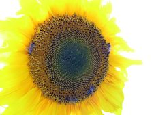 Free Sunflower Royalty Free Stock Photography - 1402117